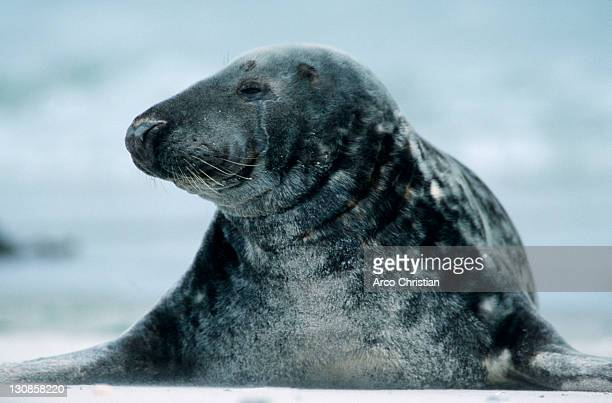 grey seal, helgoland, schleswig-holstein, germany (halichoerus grypus) - schleswig holstein stock pictures, royalty-free photos & images