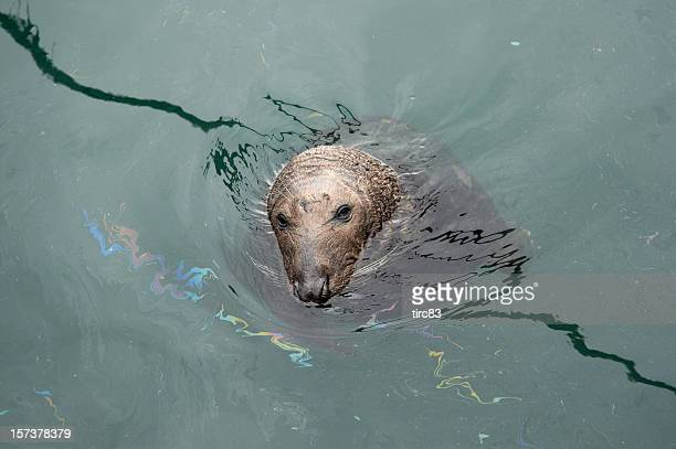 Grey seal in the wild pollution