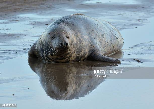Grey seal laying in the water at low tide