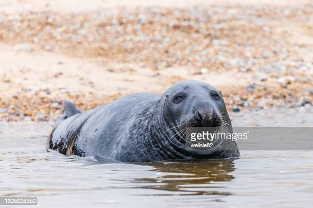 grey seal laying off blakeney beach - nature reserve stock pictures, royalty-free photos & images