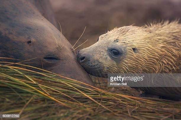 Grey seal mother and pup on beach at Donna Nook, UK