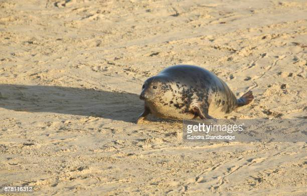 A Grey Seal (Halichoerus grypus) moving up the beach from the sea at Horsey, Norfolk, UK.