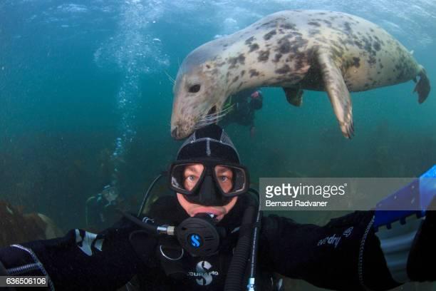 Grey seal nibbling the hood of a scuba diver