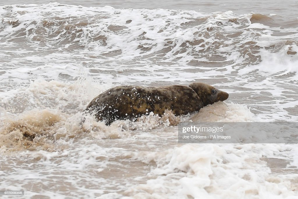 A grey seal nicknamed Mrs Frisbee is released back into the wild at Horsey Gap in Norfolk.