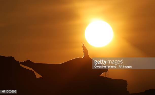 A grey seal on rocks at sunrise by St Mary's Lighthouse as they return to the island off Whitley Bay on the North East coast