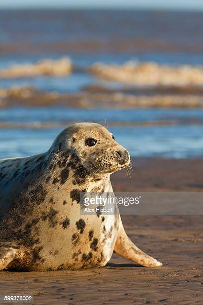 Grey Seal (Halichoerus grypus) on the beach at Donna Nook, England, UK