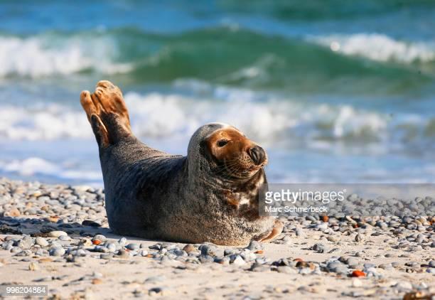 Grey Seal (Halichoerus grypus) on the beach, Heligoland, Schleswig-Holstein, Germany