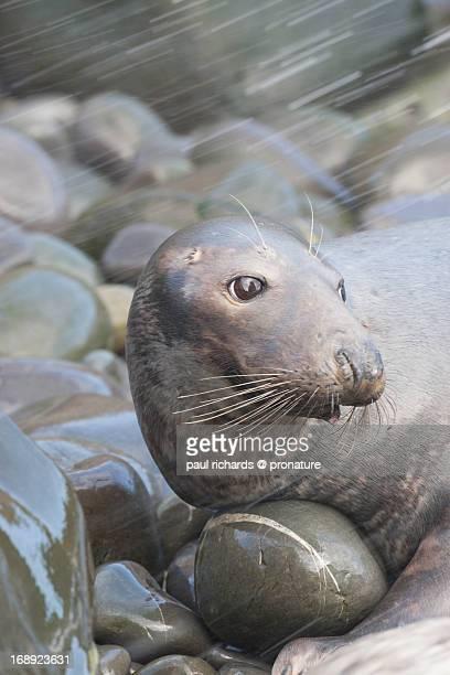Grey seal on wet rocks in the rain