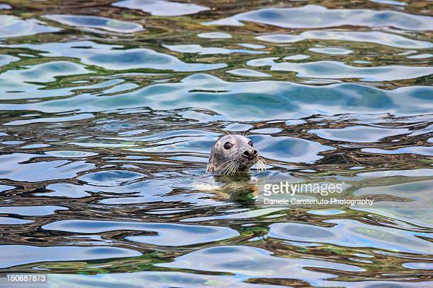 grey seal - daniele carotenuto stock pictures, royalty-free photos & images