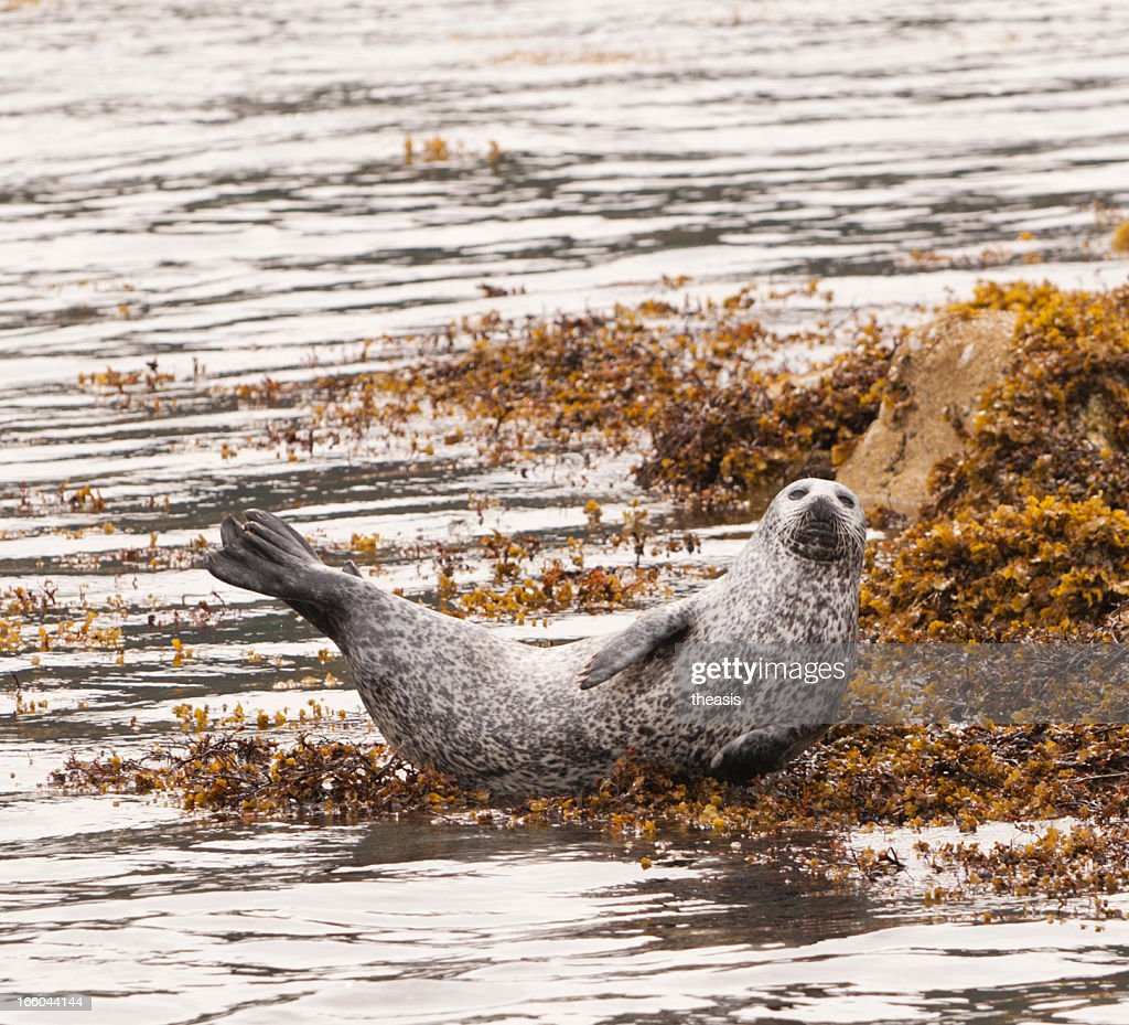 Grey Seal : Stock Photo