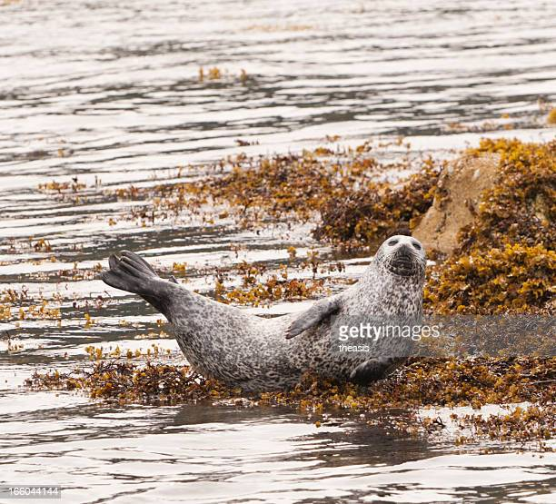 grey seal - theasis stock pictures, royalty-free photos & images