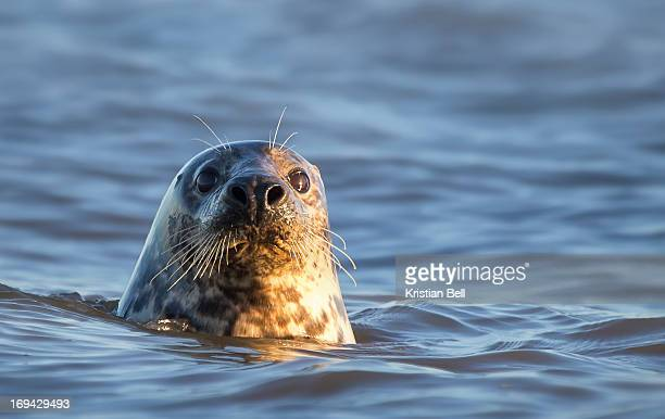 grey seal (halichoerus grypus) - seal stock pictures, royalty-free photos & images