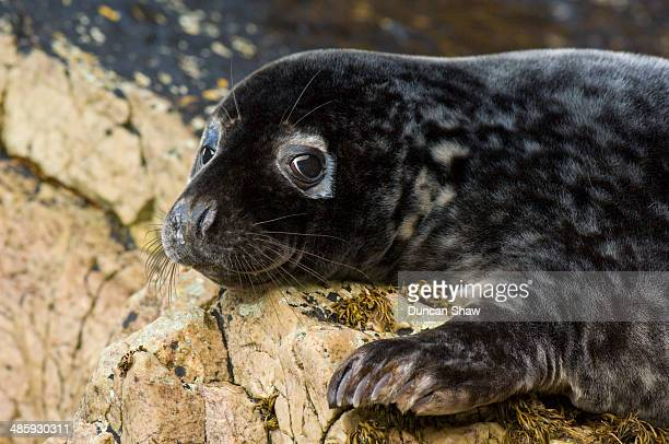 grey seal - baby seal stock photos and pictures