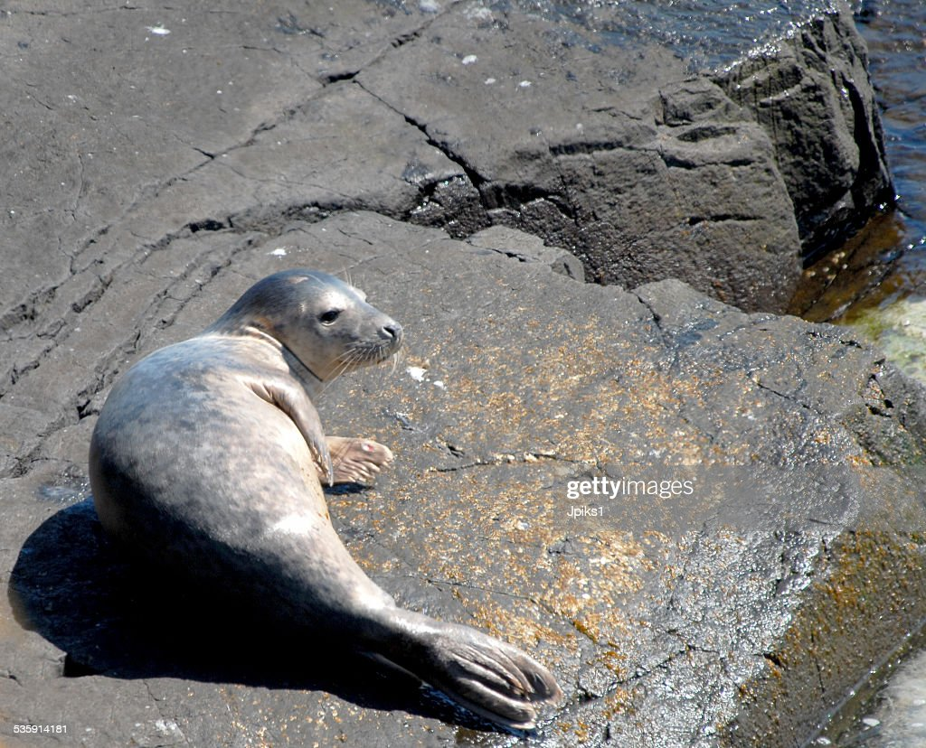 Grey Seal : Stock Photo