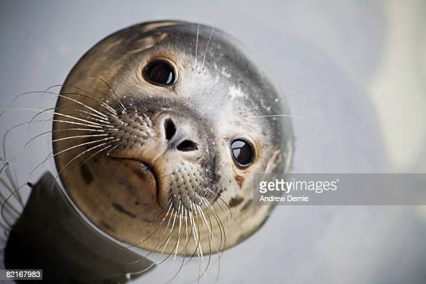 grey seal  - lincolnshire stock pictures, royalty-free photos & images