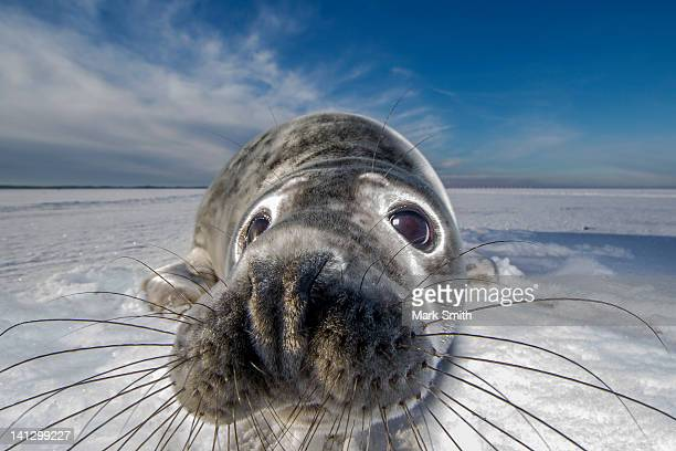 grey seal pup in snow (halichoerus grypus) - baby seal stock photos and pictures