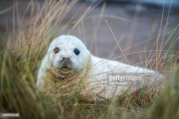 Grey Seal pup lies in the grass at the Lincolnshire Wildlife Trust's Donna Nook nature reserve on November 24 2014 in Grimsby England Seal pup...