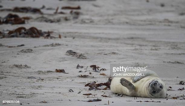 A Grey Seal pup lies on its back on a beach on the north Sea island of Helgoland on December 14 2016 Hundreds of Grey Seals use the island to give...