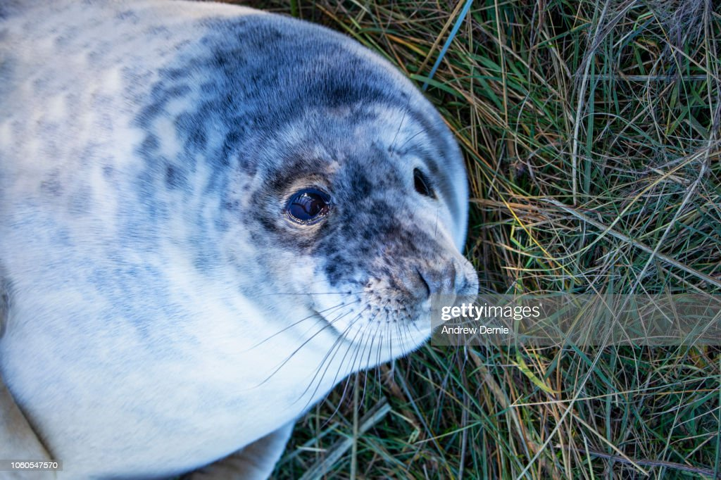 Grey seal pup lying in grass. : Stock Photo