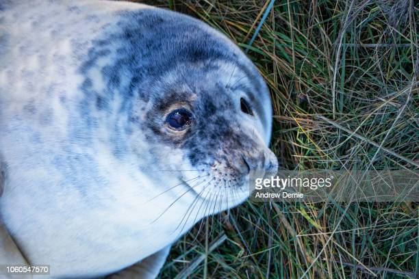 Grey seal pup lying in grass.