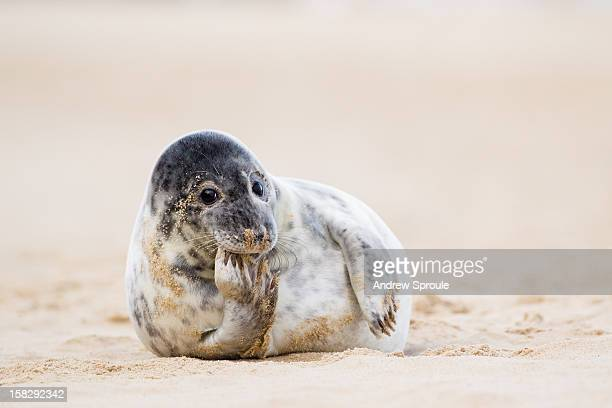 grey seal pup (halichoerus grypus) - baby seal stock photos and pictures