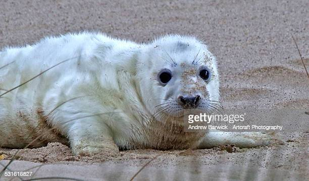 grey seal pup - seal pup stock photos and pictures