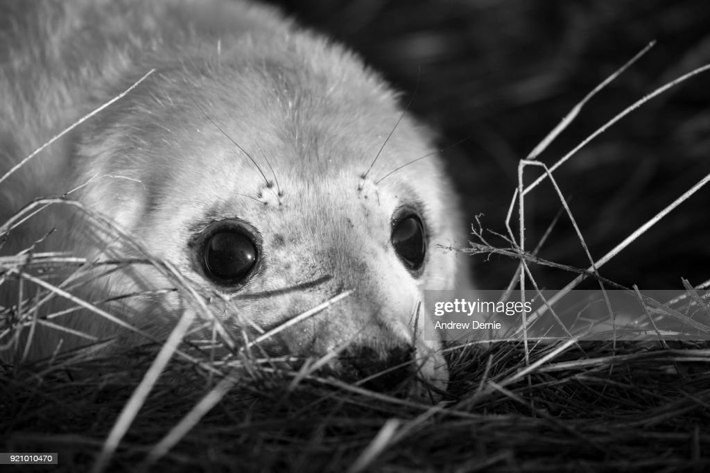 Grey seal pup : Stock Photo
