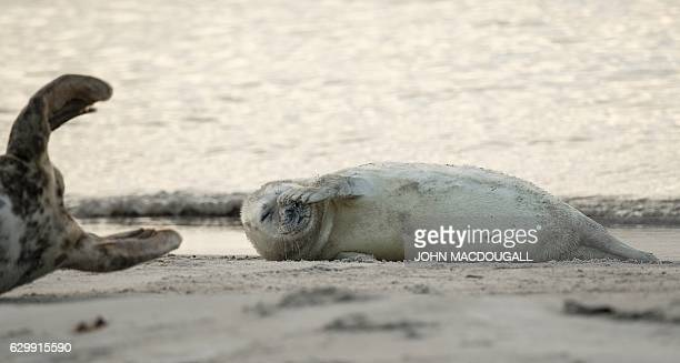 A Grey Seal pup scratches itself on a beach on the north Sea island of Helgoland Germany on December 14 2016 As the mating season starts after female...