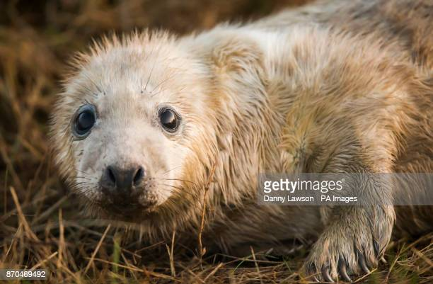 A grey seal pup which was born at Donna Nook National Nature Reserve in Lincolnshire