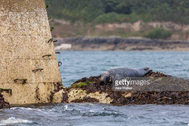 a grey seal resting on black rock navigational maker - west indies stock pictures, royalty-free photos & images
