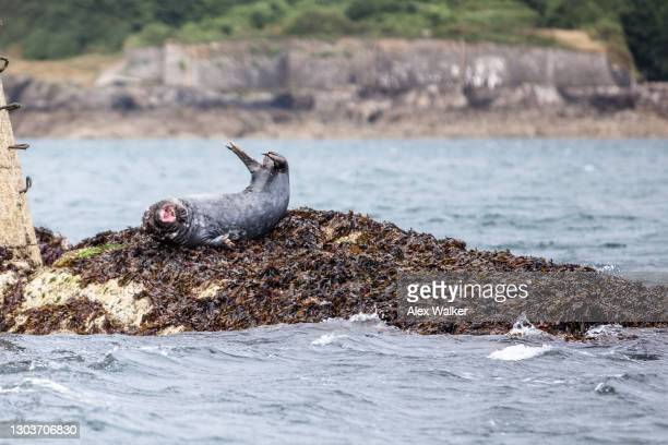a grey seal stretching with mouth open on black rock navigational maker - west indies stock pictures, royalty-free photos & images