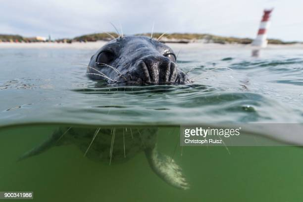 grey seal (halichoerus grypus) swimming in water, animal portrait, female, north sea, duene, heligoland, germany - helgoland stock pictures, royalty-free photos & images