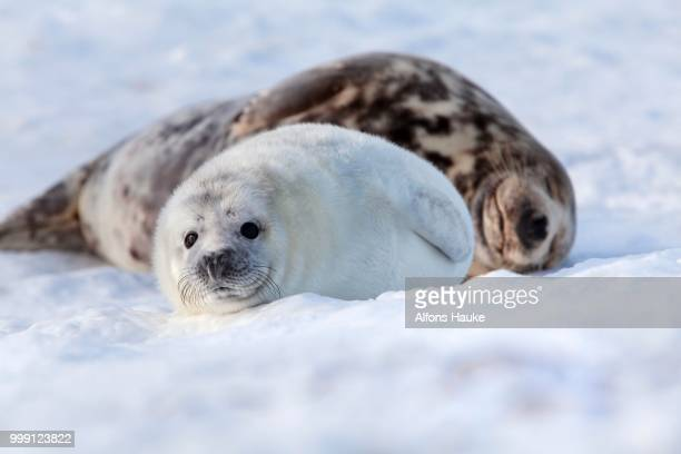 grey seal (halichoerus grypus) with a cub, helgoland dunes, schleswig-holstein, germany - seal pup stock pictures, royalty-free photos & images