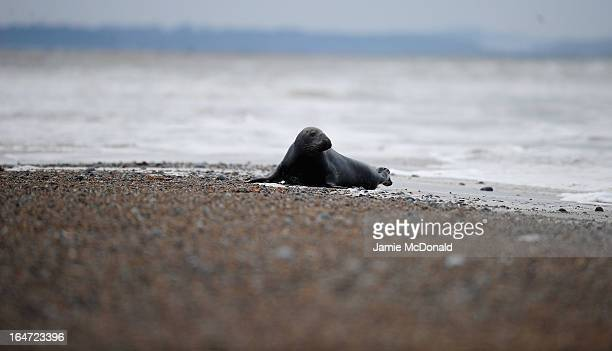 Grey seals come ashore at Blakeney Point one of the largest expanses of undeveloped coastal habitat in Europe on March 27 2013 in Norfolk England...