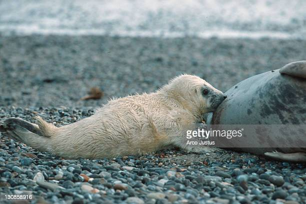 grey seals, suckling cub, helgoland, schleswig-holstein, germany (halichoerus grypus) - kegelrobbe stock pictures, royalty-free photos & images