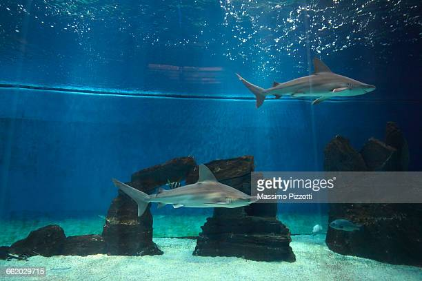 Grey Sharks in an aquarium