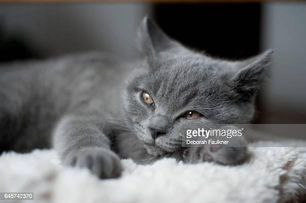 Grey sleepy kitten
