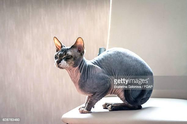 Grey sphinx cat sitting on furniture