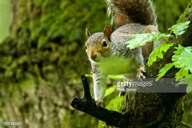 grey squirrel (sciurus carolinensis) alert - tree stock pictures, royalty-free photos & images