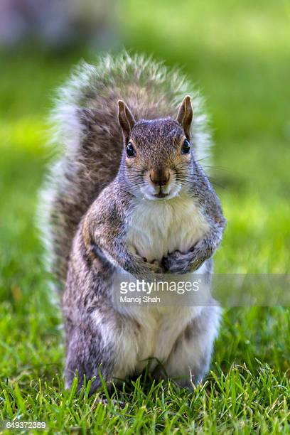 Grey squirrel at a bottom of a tree