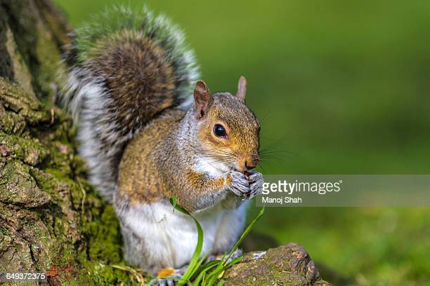 Grey squirrel at bottom of a tree