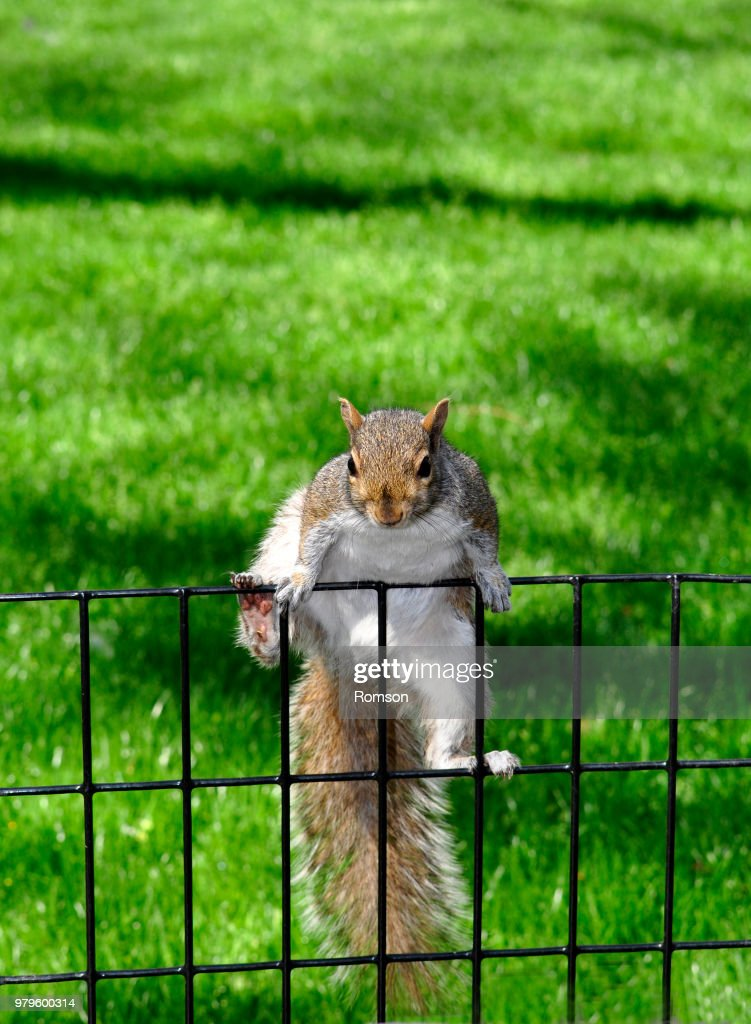 Grey squirrel climbing on fence : Stock Photo