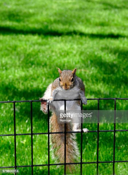 grey squirrel climbing on fence - gray squirrel stock photos and pictures
