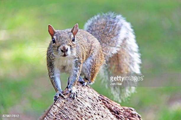 Grey Squirrel close up facing camera - Sciurus carolinensis