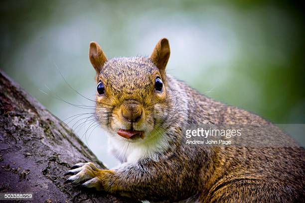 grey squirrel close up - gray squirrel stock photos and pictures
