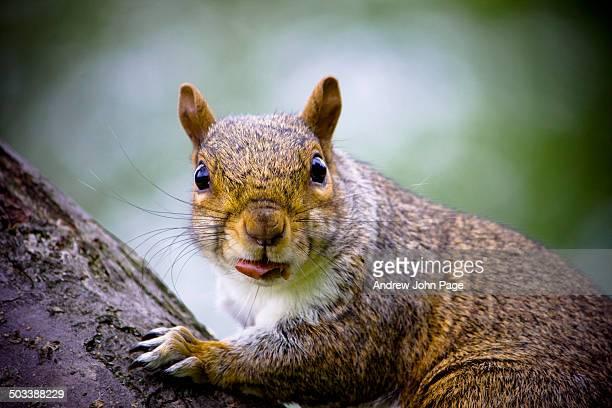 Grey squirrel close up