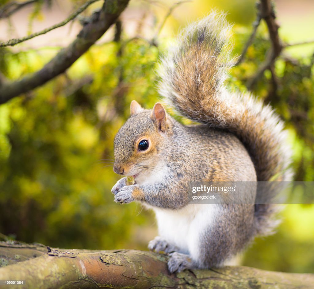 Grey squirrel close-up : Stock Photo
