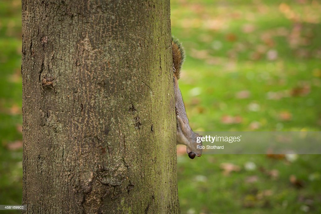 A grey squirrel collects acorns in Hyde Park on October 31, 2014 in London, England. Temperatures in London are forecasted to exceed 20 degrees making today the hottest Halloween on record.