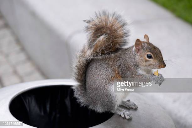 Grey squirrel eating a chip which it has collected from a bin on 5th March 2021 in London, England, United Kingdom. Grey squirrels are city dwelling...