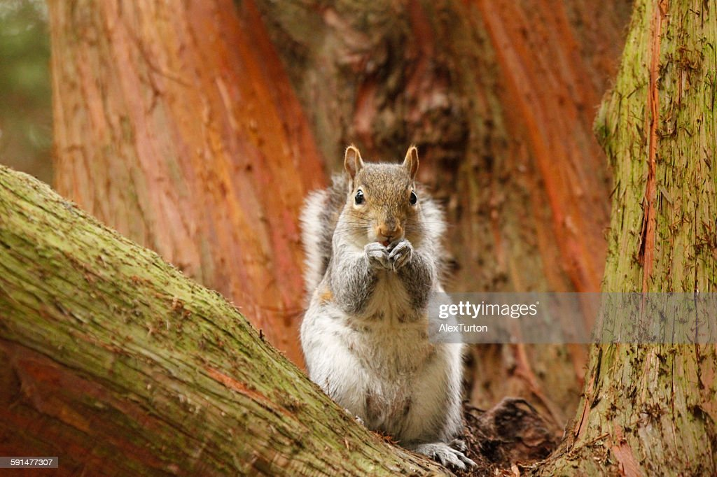 Grey squirrel eating a nut in a tree : Stock Photo